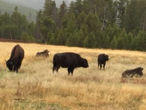 West Yellowstone Bison in the sun