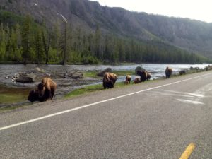 West Yellowstone Bison on the road