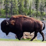 West Yellowstone Bison by the river