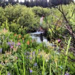 West Yellowstone Wildflower creek