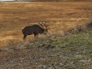 West Yellowstone Elk grazing