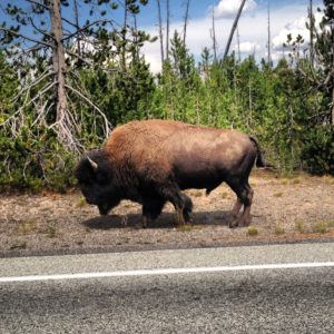 West Yellowstone Bison roadside